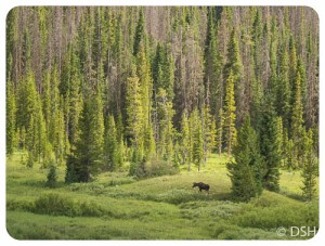 Moose in meadow