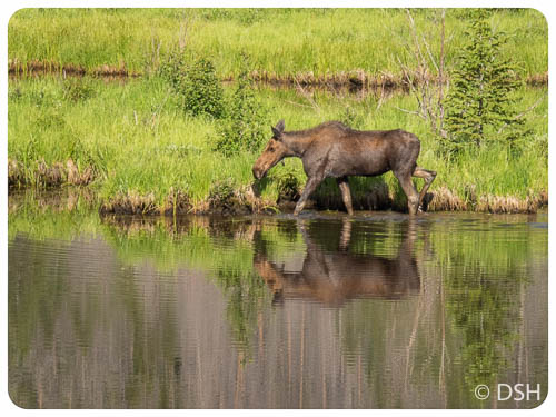 Moose at Beaver Pond