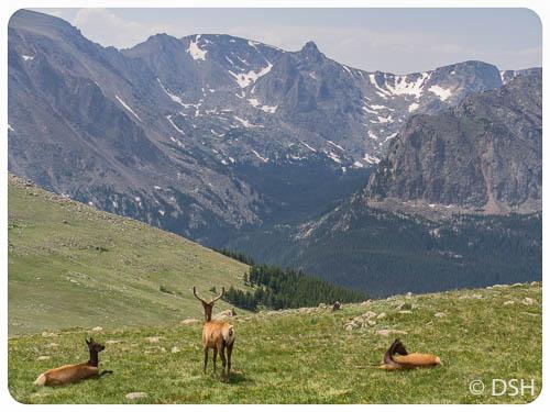 Elk in Meadow