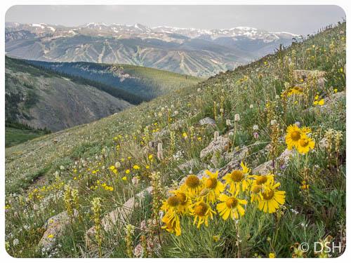 Alpine Sunflowers Rollins Pass