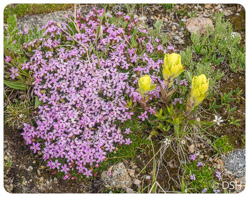 Wildflowers Rollins Pass