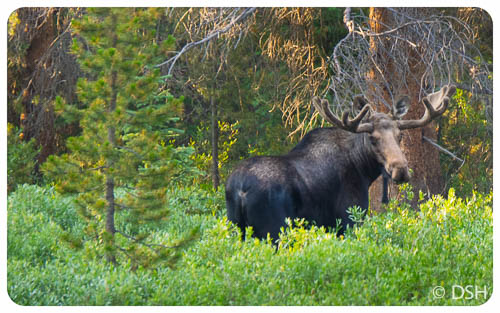Moose, on way to trailhead